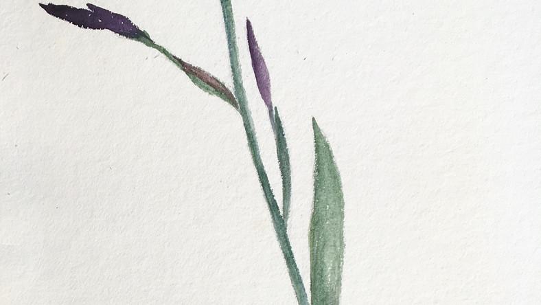 L'iris violet