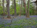 親英國的春天地貌:藍鈴花海