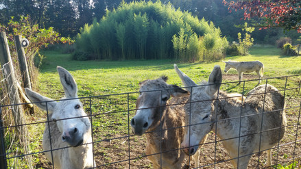Camp donkeys