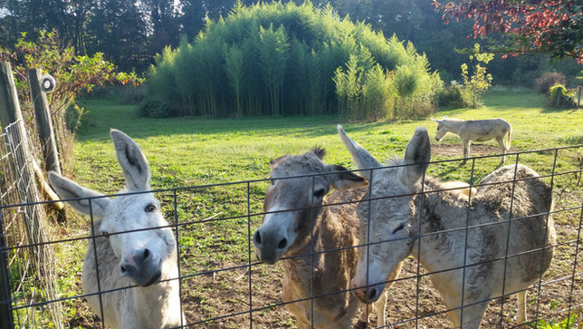 Camp donkeys