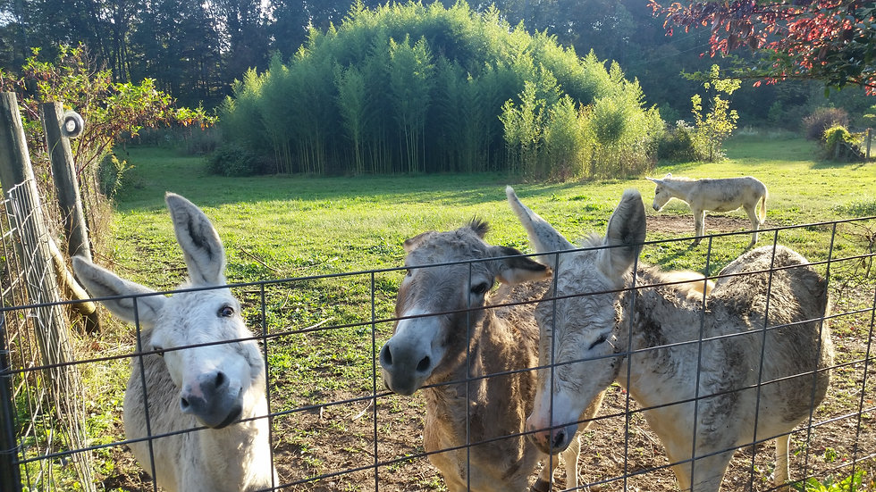 Tennessee landscape bamboo grove donkeys