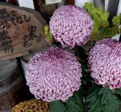 kitakata huge chrysanthemum
