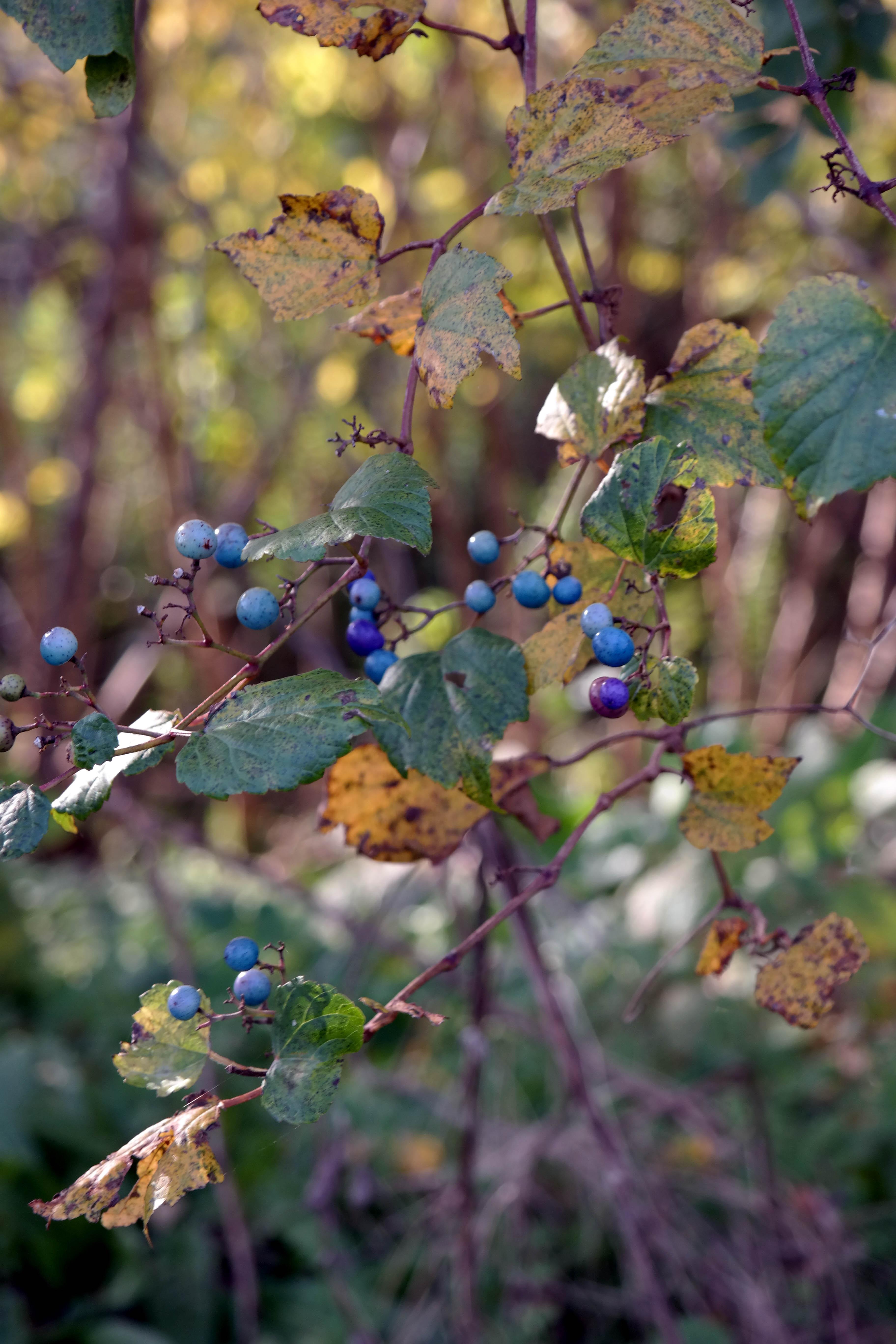 kitakata berries