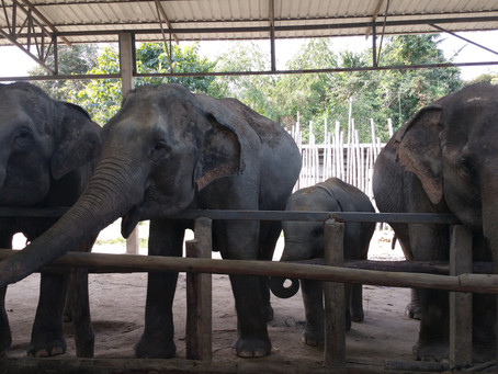 Elephant introductions - a #volunteervacation
