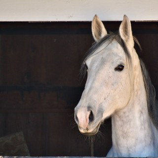 Khaleesi looking out her stall