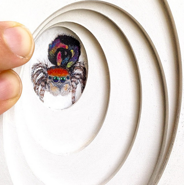 Mighty Miniature - Peacock Spider