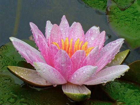 lotusbloem.jpg