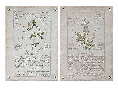 Vintage Reproduction Botanical Descriptions (Set of 2 Styles)