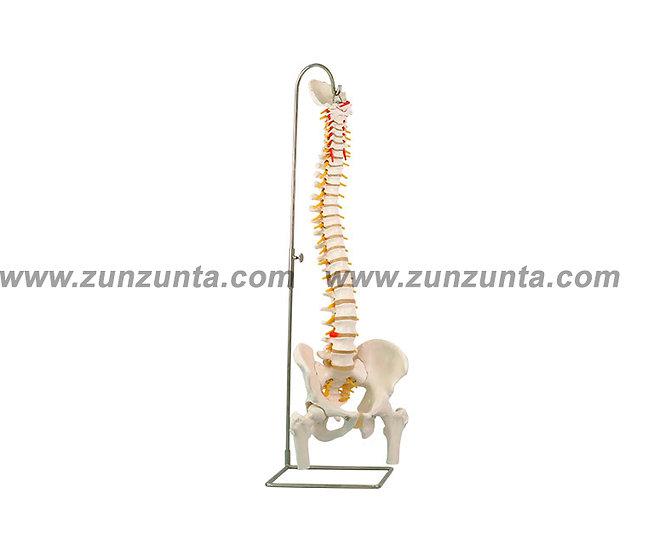 Modelo de espina dorsal (73.66 cm)