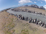 King penguins on the shore of a river on South Georgia Island near Antarcitca. This