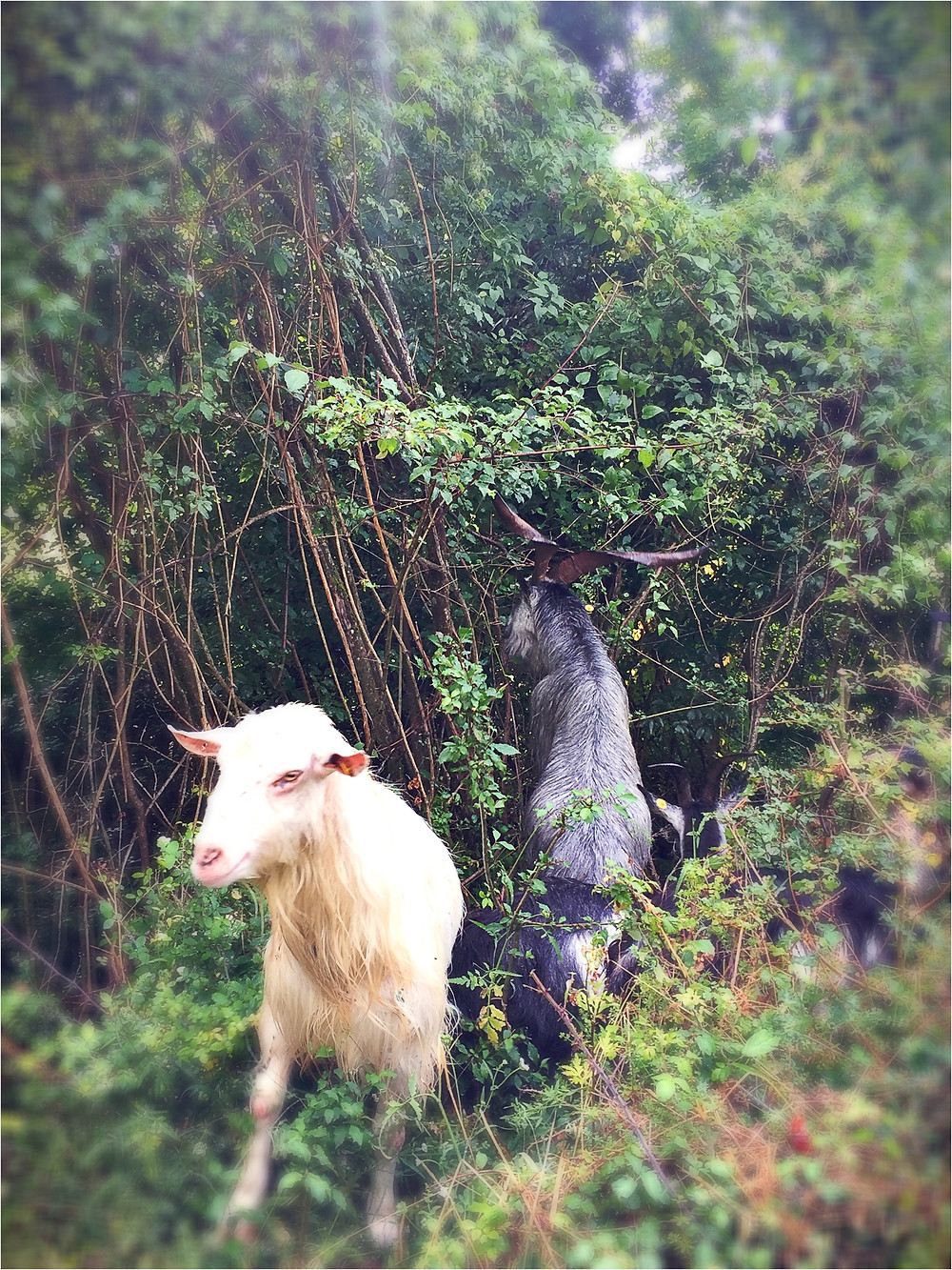 Happy goats make the best cheese.