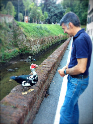 Chuck ... the lovely Muscovy  duck who resides along one of Lucca's canals ... we admit, Chuck i