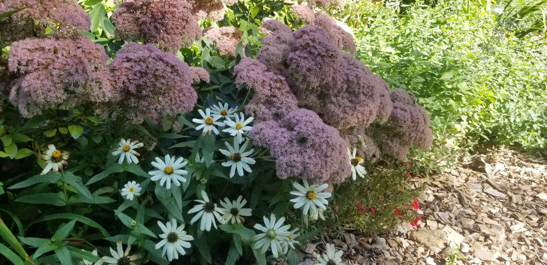 Stonecrop and annual aster