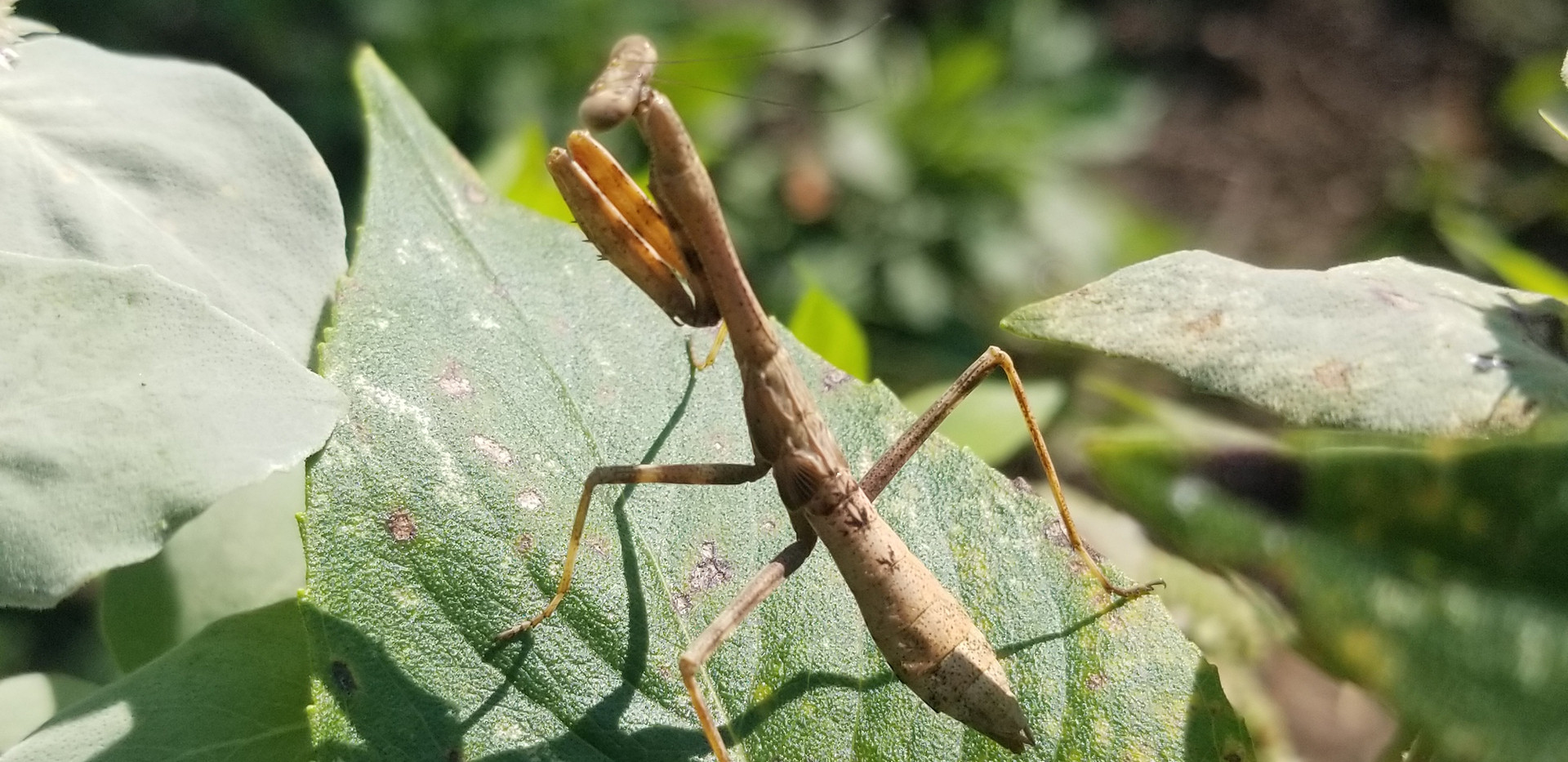 Busy Mantis!