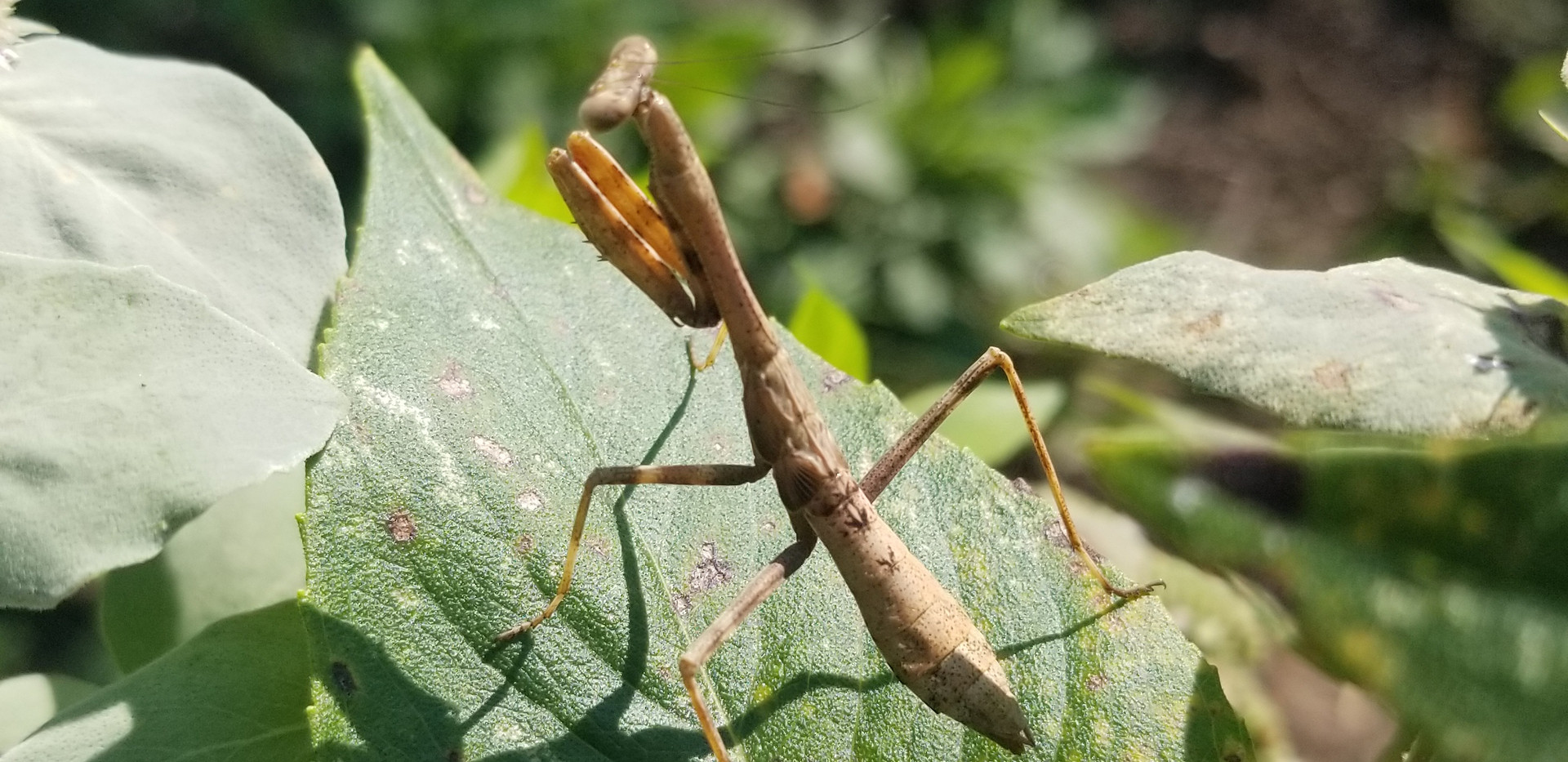 Busy Mantis!