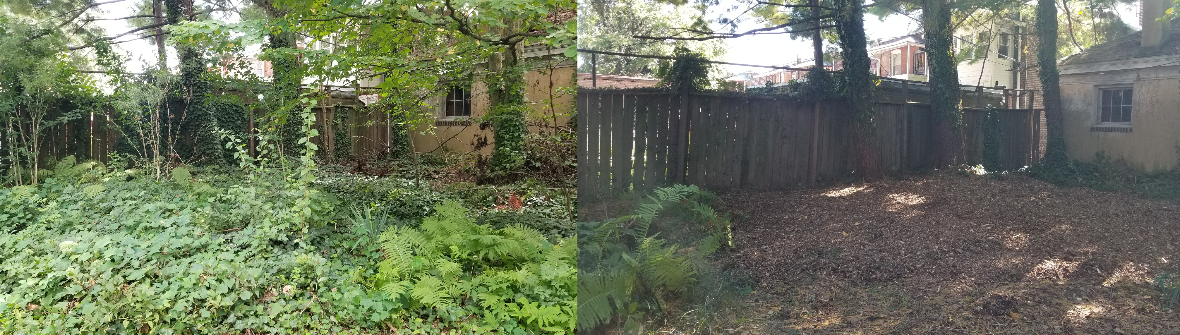 Ivy removal before and after
