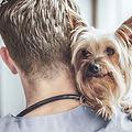 Yorkshire Terrier chez le vétérinaire