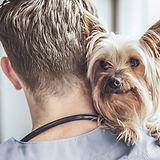 Yorkshire terrier en el veterinario