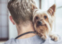 Yorkshire Terrier an der Vet