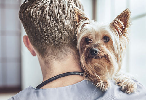 Yorkshire terrier en el veterinario