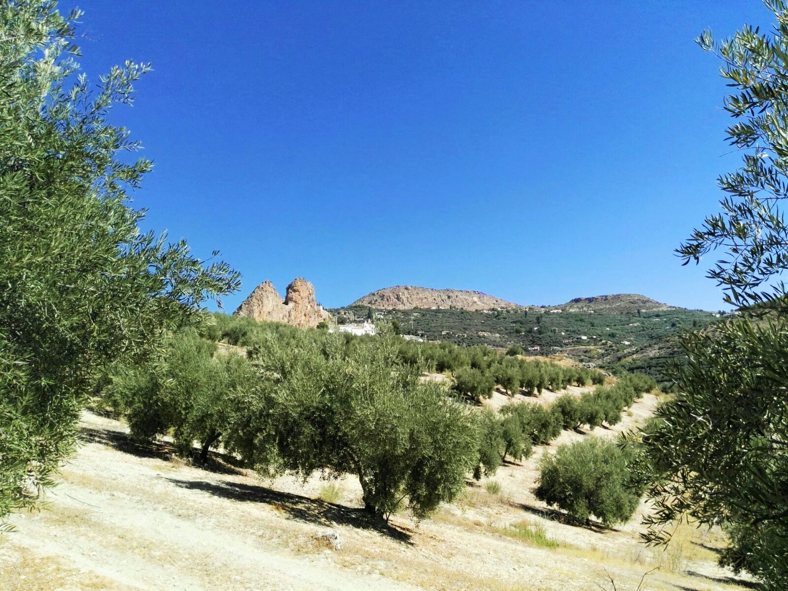 Organic olive groves