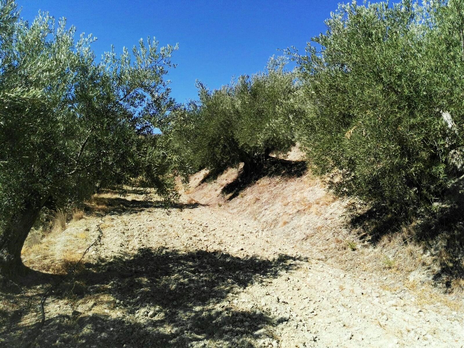 detalle olivos de cultivo ecológico