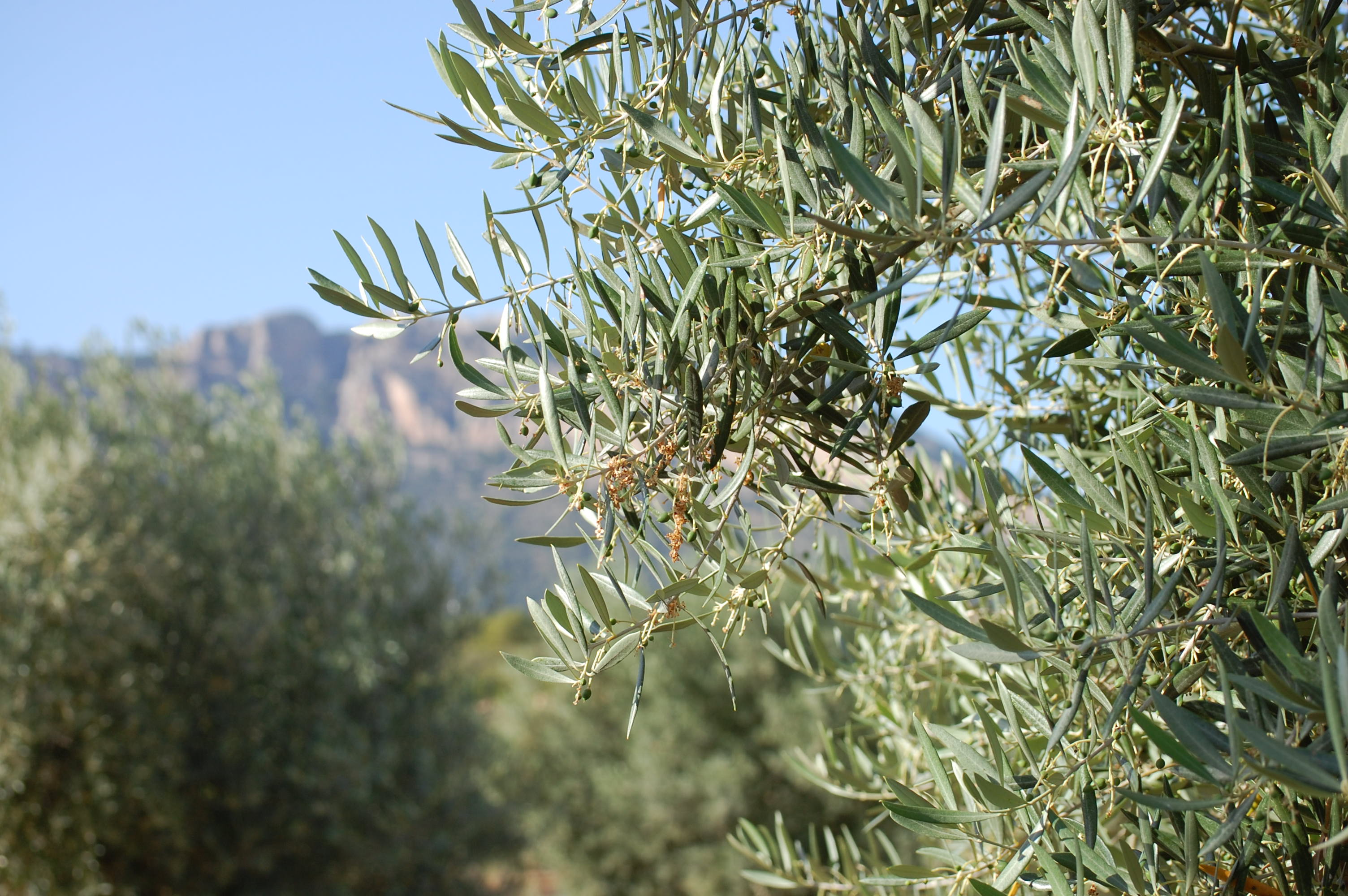 Olive tree in Los Arenals