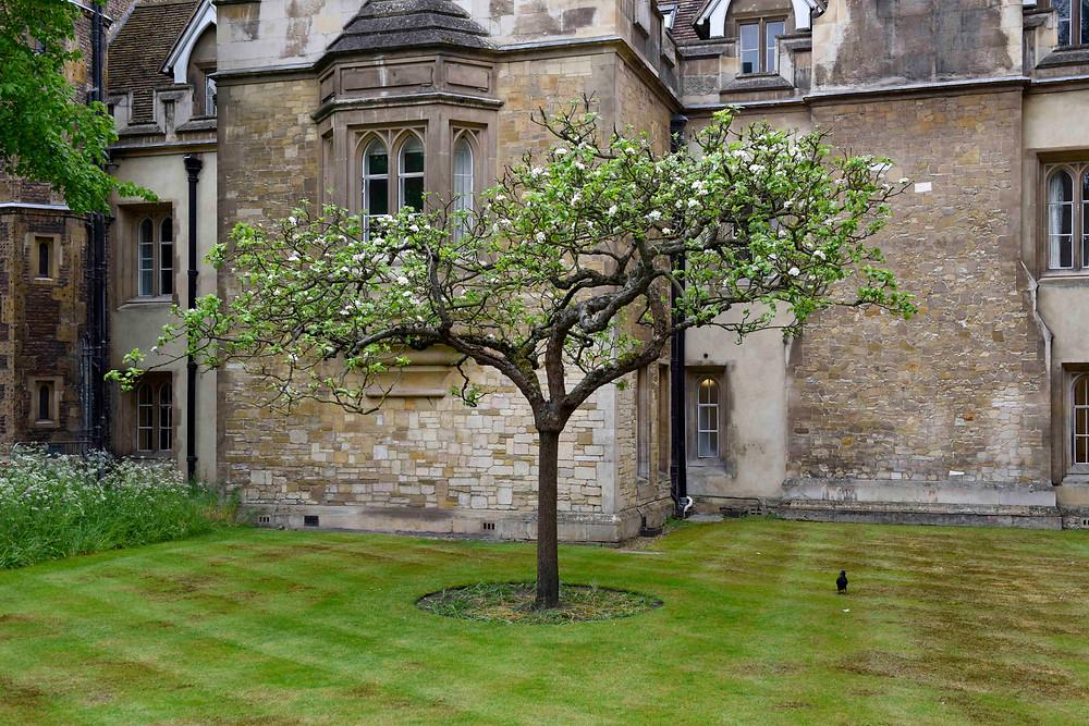 ニュートンのリンゴの木(ケンブリッジ)