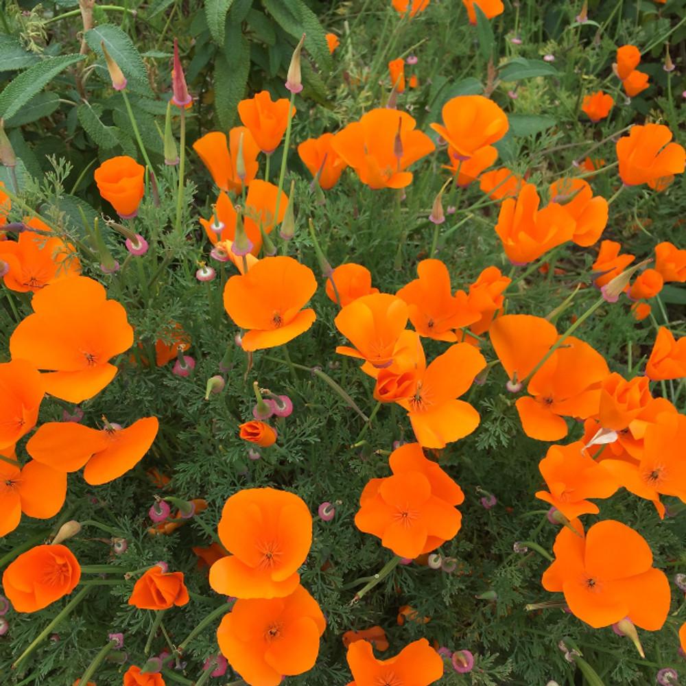 California poppies...