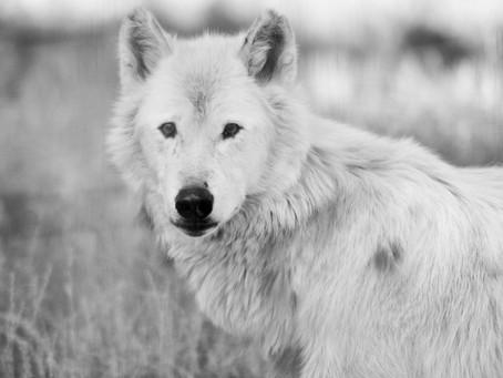 """""""Aprendendo com os lobos"""" na Insights for Leaders e na Europa: qual é a diferença?"""