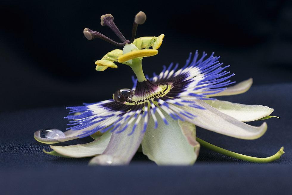 passionflower-4434907_1920.jpg