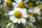 Echte Kamille kl. FS 014.jpg