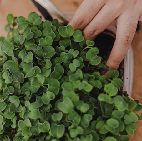Microgreens 101: Radish