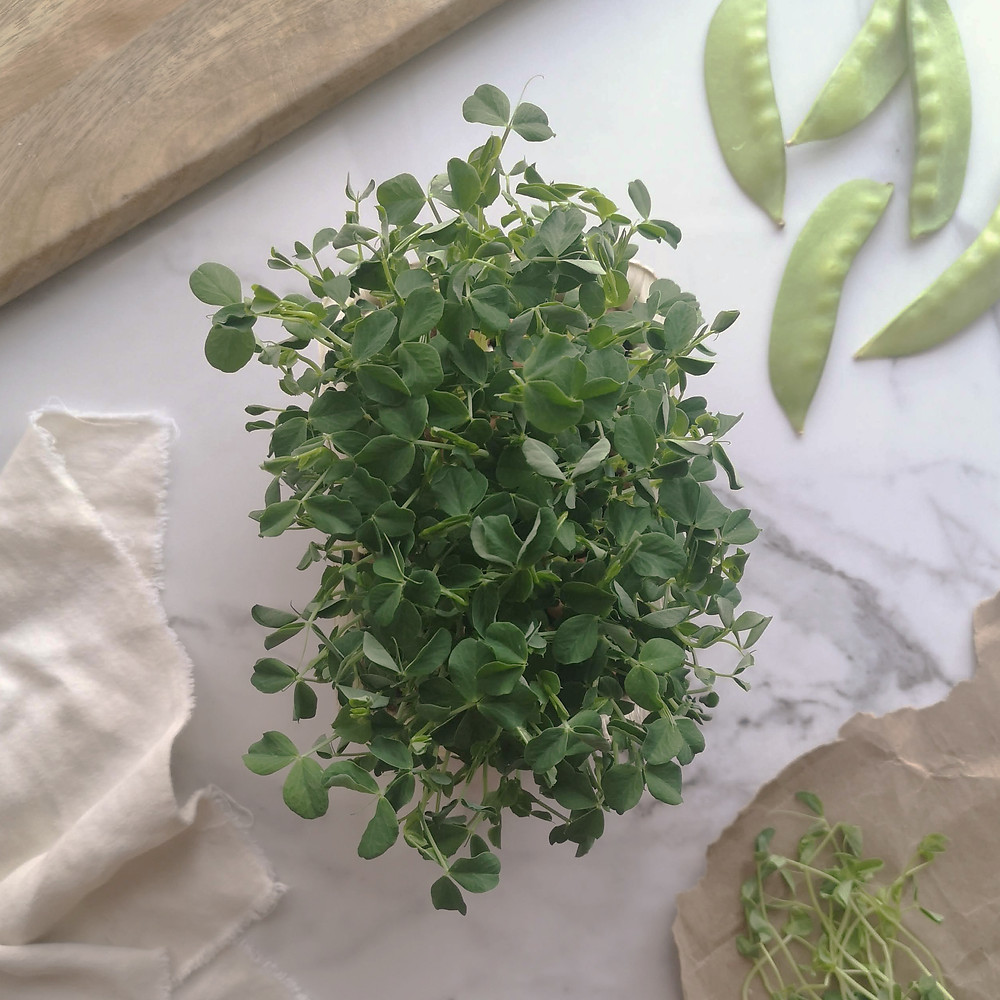 Tray of pea shoot microgreens on white marble background