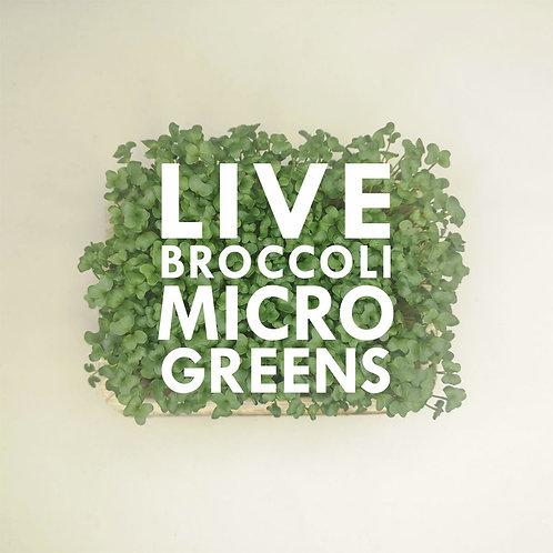 Live Broccoli Microgreens