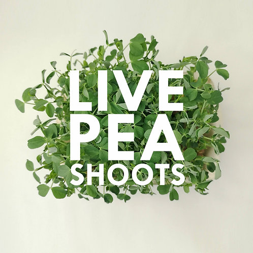Live Pea Shoot Microgreens