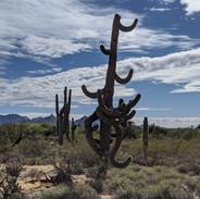 dancing-saguaro-at-hb-wallace
