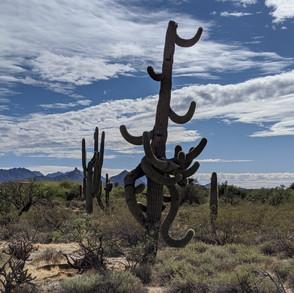 "The ""dancing saguaro"" on H.B. Wallace Preserve"