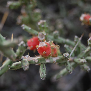 christmas-cactus_galloway-wash_editedjpg