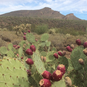 Prickly pear fruit at Jewel of the Creek