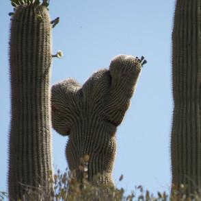 Crested saguaro by Steve Jones