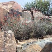 chuparosa-on-the-rocks-at-yucca-crossing