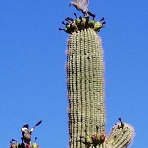 Dove enjoying saguaro fruit at P.A. Seitts Preserve
