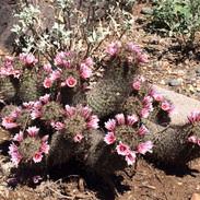 hedgehog-cactus-at-desert-enclave_edited.jpg
