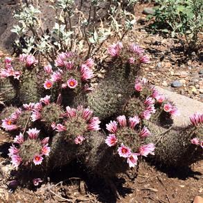 Hedgehog Cactus at Desert Enclave