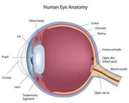 How the Eyes Work2.jpg