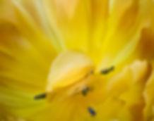 Tulip2 copy.jpg
