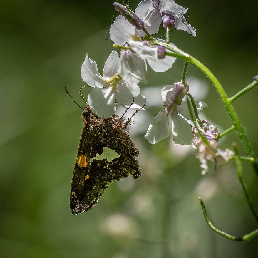 Moth Phlox2048x2047.jpg