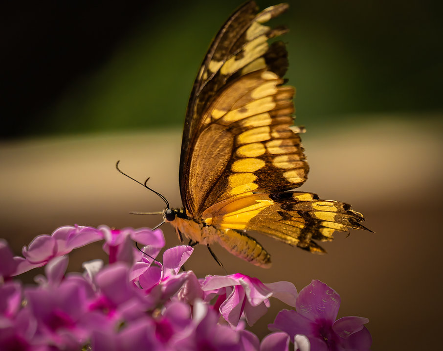 Backyard Butterfly.jpg