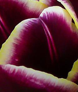 TulipAbstract-1